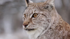 Lynx face close up view Stock Footage