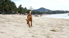 Koh Samui, Thailand. 25 july 2014. limping dog walking on the beach and looking Stock Footage