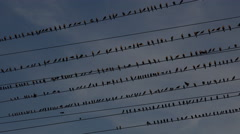 4K Birds Perch On Rows Of Electrical Wires Stock Footage