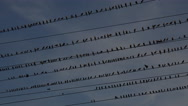 Stock Video Footage of 4K Birds Perch On Rows Of Electrical Wires