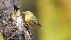 Pine Warbler Stock Footage