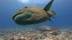 Big Tropical fish right in front of camera Stock Footage
