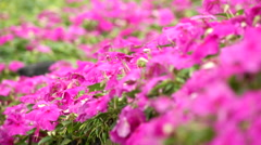 Pink Garden Balsam and bees in Taiwan garden Stock Footage