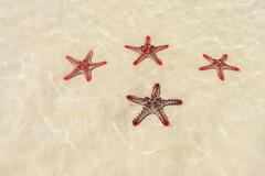 four red starfish - stock photo