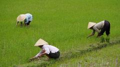 Vietnamese Farmers Working on Rice Field, Phong Nha, Vietnam Stock Footage