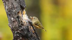 Ruby-crowned Kinglet - stock footage