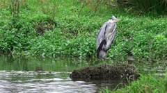 Wildlife Grey Heron standing in water - nature background Stock Footage