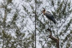 lesser adjutant stork (leptoptilos javanicus) - stock photo