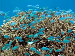 Blue green Damselfish Chromis viridis on tropical coral reef Stock Footage