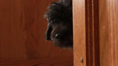 Dog hides behind corner and begins to come out Stock Footage