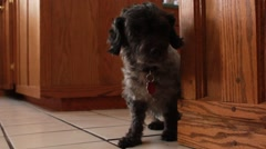 Dog with diaper timidly moves Stock Footage