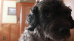 Close up of shaking dog Stock Footage