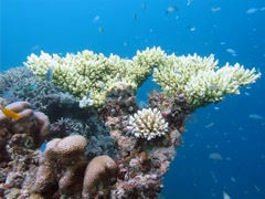 Blue green Damselfish (Chromis viridis) on Acropora digitifera coral Stock Footage