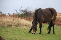 exmoor pony rare breed - stock photo