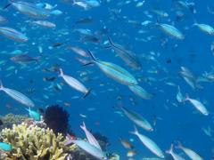 Gold banded fusilier (Pterocaesio caerularea) on tropical reef Stock Footage