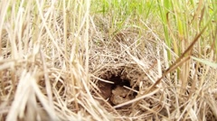 Huge earthen toad sitting pensively in a hole around the grass Stock Footage