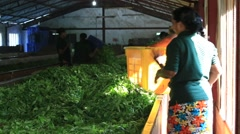 Sri Lankan women are engaged in oxidation and drying tea leaves in tea factory - stock footage