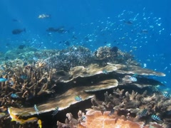 Fish swimming over tropical reef Stock Footage