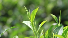 Young green leaves & leaf bud of the tea tree on plantation in Sri Lanka Stock Footage