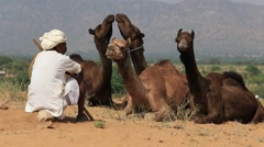 Indian man and a herd of camels in the desert. Pushkar, India Stock Footage
