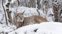Lynx laying on snow covered ground Stock Footage