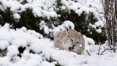 Lynx feed on fresh meat laying on snow ground raise and walk away Stock Footage
