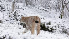Lynx rear view in snow covered forest walking out of frame in end Stock Footage