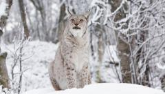 Lynx sitting on ground snow weather looking around alerted Stock Footage