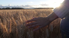 Female hand touching the golden wheat heads at sunset Stock Footage