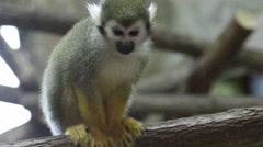 Mammals-monkeys Squirrel squirrel Stock Footage