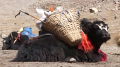 Tibetan yak is resting on the ground. Stock Footage