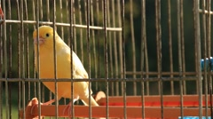 Yellow Canary Birds in Cage Close Up Stock Footage