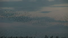 Amazing natural wonder birds working together murmuration - stock footage