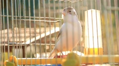 Beautiful Majestic White Canary in Cage Stock Footage