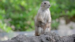 Prairie dog standing guard, looking around Stock Footage