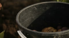 Dug potatoes put in a bucket Stock Footage