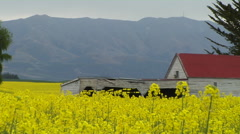 Run down farm building in yellow rapeseed fields of flowers. - stock footage
