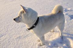 Dog Shiba Inu - stock photo