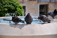 Pigeons. - stock photo