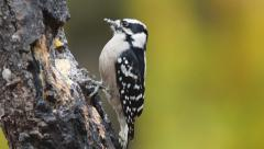 Downy Woodpecker Female Stock Footage