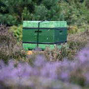 beehive on the blooming heath in holland - stock photo