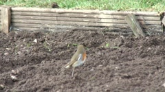 Robin on fresh weeded allotment 08 Stock Footage