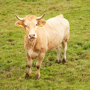 brown cow in meadow looking up - stock photo