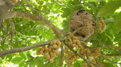 Wasps building a nest on wollongong tree. Stock Footage