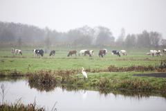 great egret and cows in meadow in the netherlands - stock photo