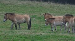 Herd of przewalski horses Stock Footage