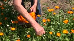 Senior woman pick fresh marigold calendula medical flowers in garden Stock Footage