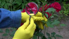 Gardener agronomist with magnifier looking fresh rose buds. Greenfly protection Stock Footage