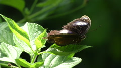 Male Great Eggfly. Taiwan butterfly Stock Footage