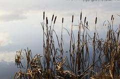 reeds and expanse of lake in fog - stock photo